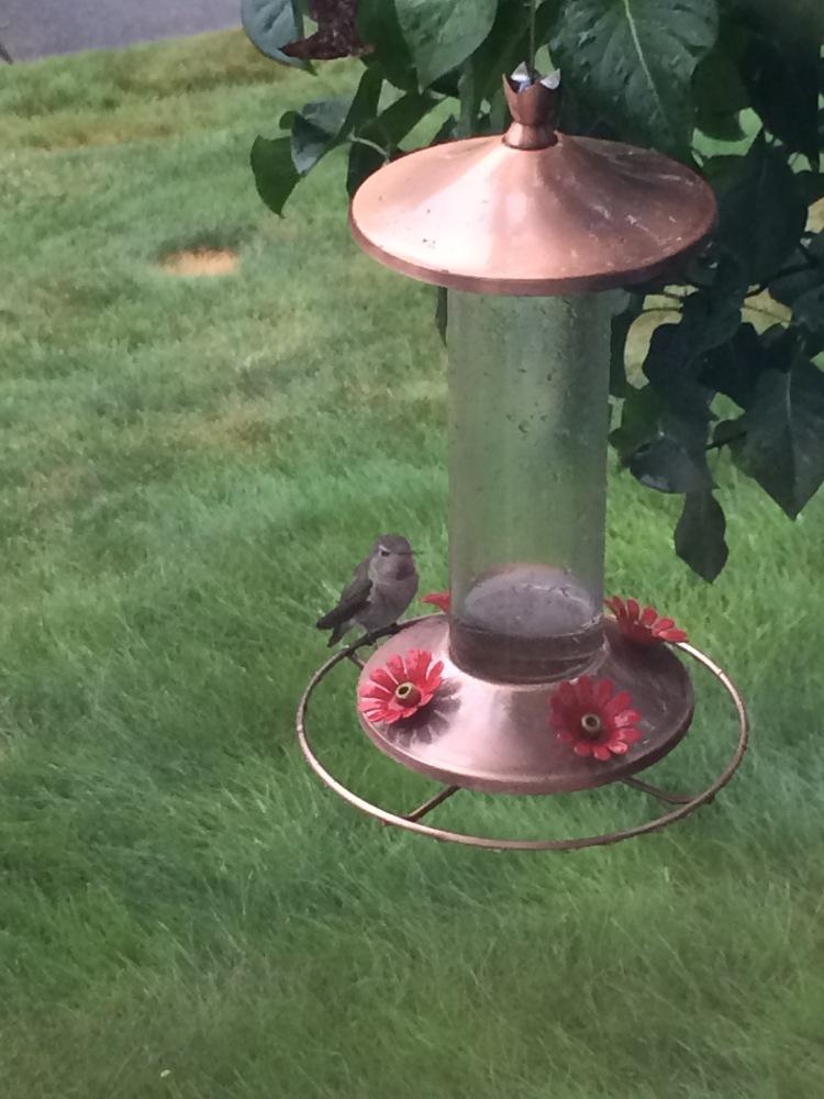 Hummingbirds (1/2)